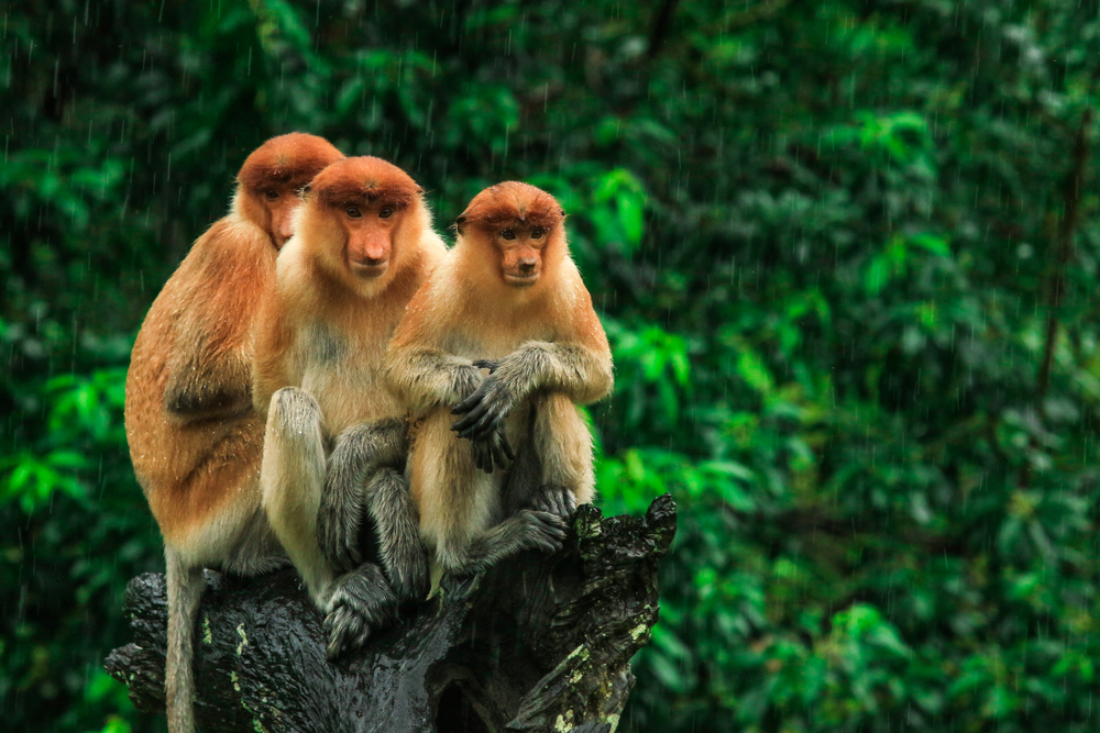 Labuk Bay Monkey Sanctuary | Borneo