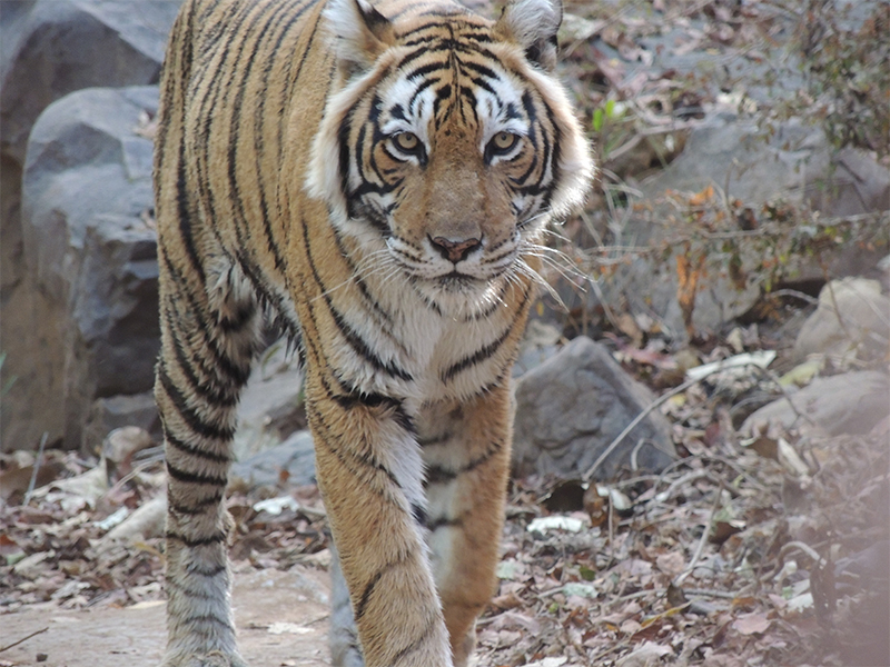Tiger in Ranthambore National Park | Incredible India Group Tour